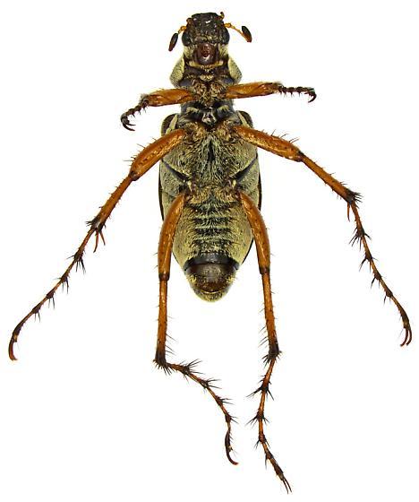 Western Rose Chafer? - Macrodactylus uniformis