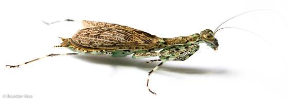 Liturgusa maya - female