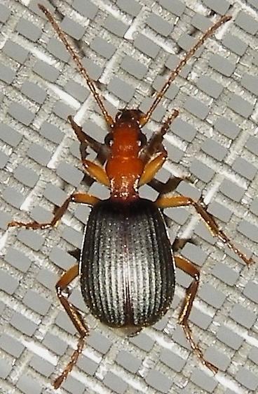 Brachinus geniculatus
