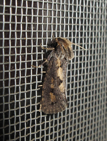 Copper and brown moth - Acrolophus popeanella