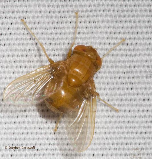 Orange Tachinid at lights - Ormia - female