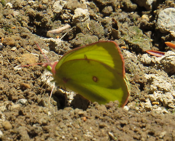 Possible pink-edged Sulphur? - Colias