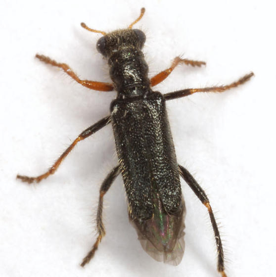 Wolcottia pedalis (LeConte) - Wolcottia pedalis