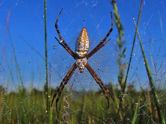 Id help needed - Argiope spider. - Argiope trifasciata