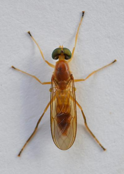 Soldier Fly? - Ptecticus trivittatus - male