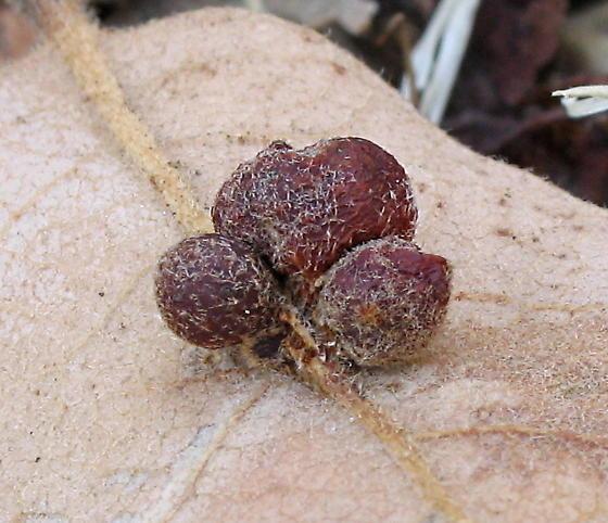 Andricus brunneus