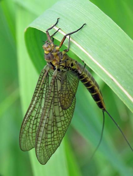 Mayfly - Litobrancha recurvata
