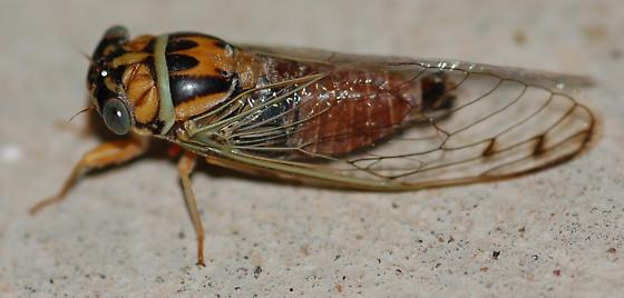 colorful little cicada - Diceroprocta delicata
