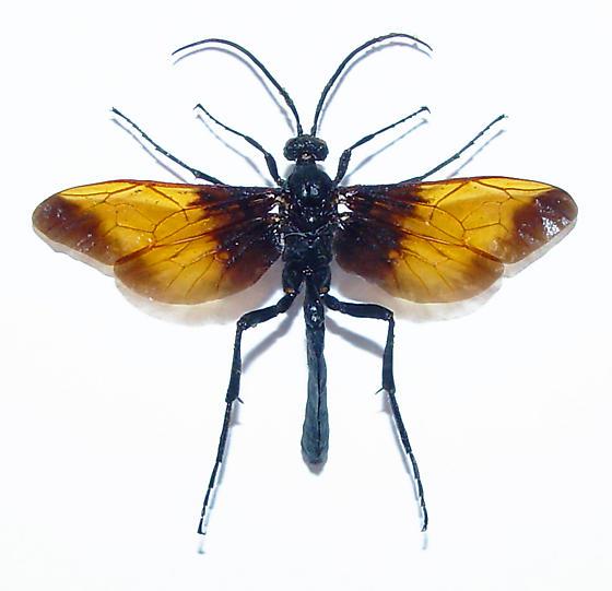 Tarantula hawk mimic - Rhynchophion flammipennis