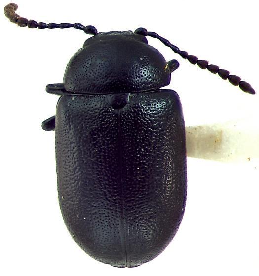 Gastrophysa cyanea - male