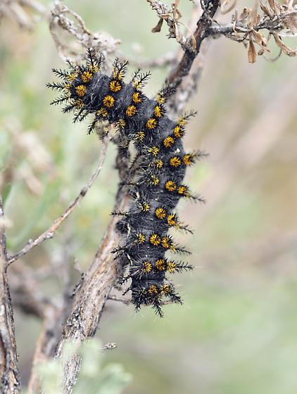 Hemileuca Hera Larva - Hemileuca hera