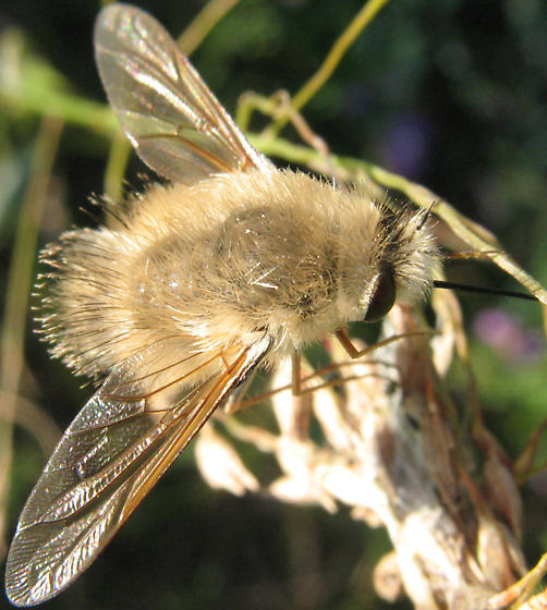 Bee fly - Anastoechus barbatus