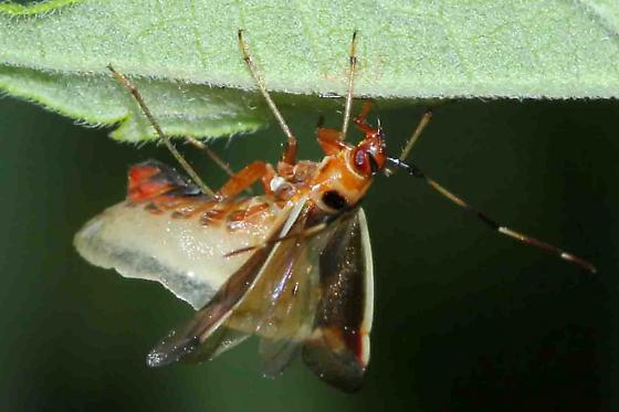 unknown true bug apparently invaded by a fungus - Adelphocoris rapidus
