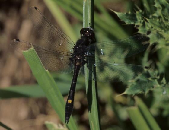 Dot-tailed Whiteface - Leucorrhinia intacta - male