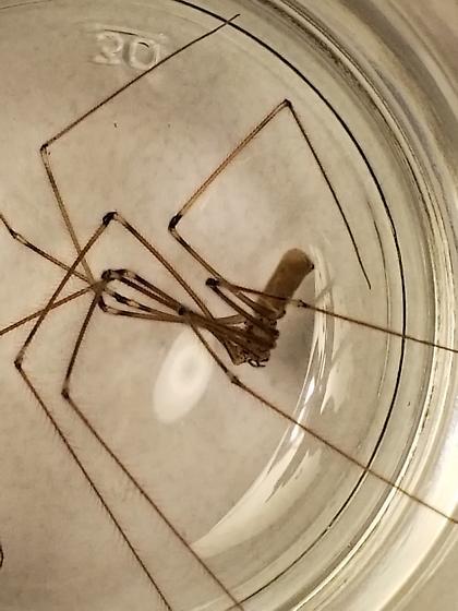Utah Pholcid - female
