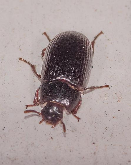 Small Black Beetle - Alphitobius diaperinus