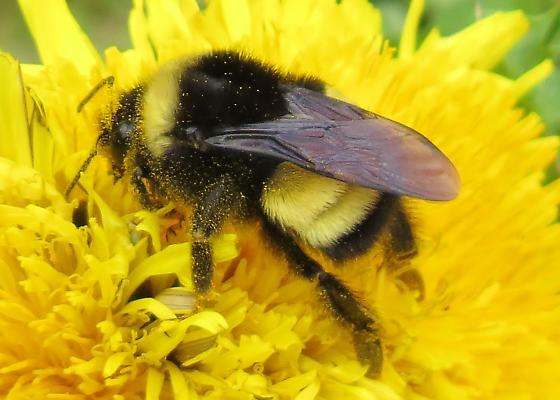 Yellow-banded Bumblebee in May for New Brunswick - Bombus terricola