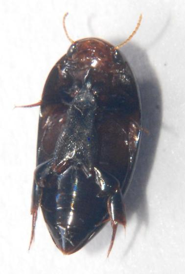 Hydrocanthus regius? - Hydrocanthus regius