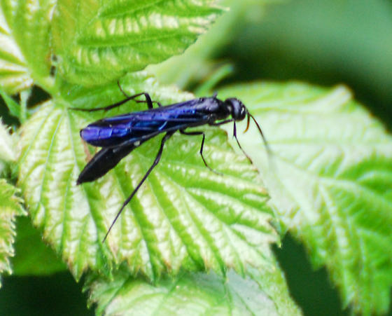Blue Wasp with White Spot - Hartigia trimaculata