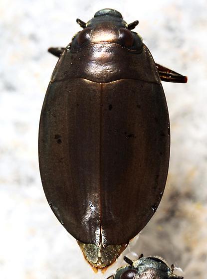 Whirligig Beetle - Dineutus nigrior