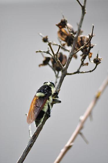 Bomboides Robber Fly - Mallophora bomboides