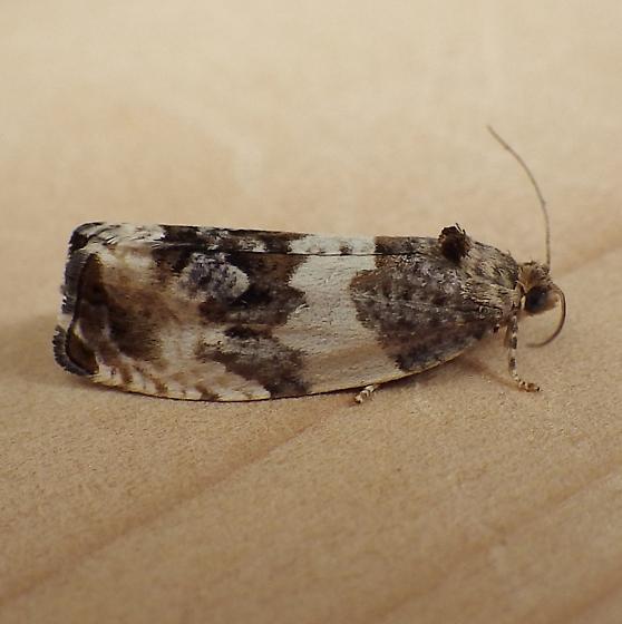 Tortricidae: Pseudosciaphilia duplex - Pseudosciaphila duplex