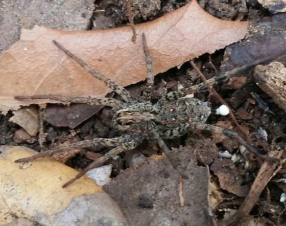 Spider-Dolomedes?  - Gladicosa pulchra