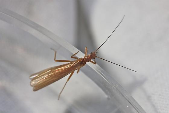 Capniidae, genus Allocapnia - Allocapnia