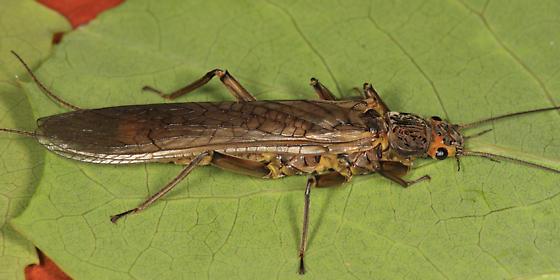 stonefly - Acroneuria abnormis