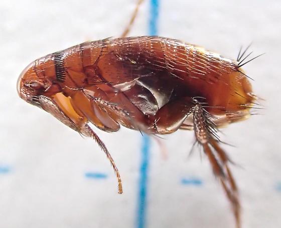 Flea - Siphonoptera