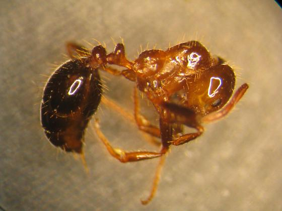Southern Fire Ant - Solenopsis xyloni - female