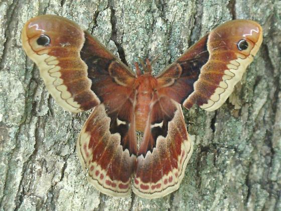 Female Promethea Moth? - Callosamia promethea
