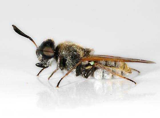 BG646 fly - Hoplitimyia mutabilis - male