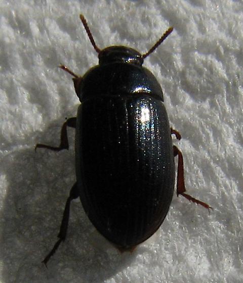 Lesser Mealworm - Alphitobius diaperinus