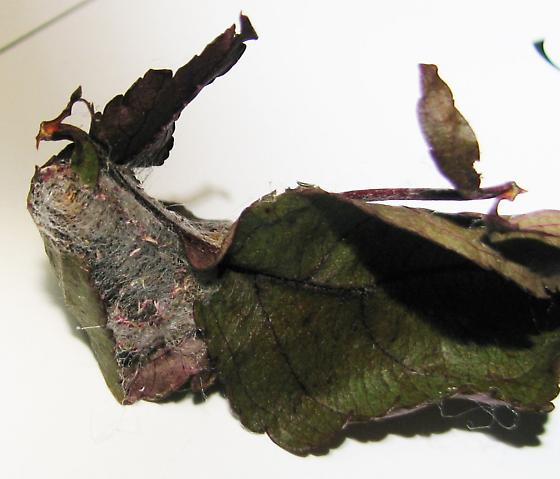 Cocoon on ornamental crabapple - Acronicta clarescens