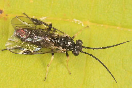 sawfly - Pristiphora banksi