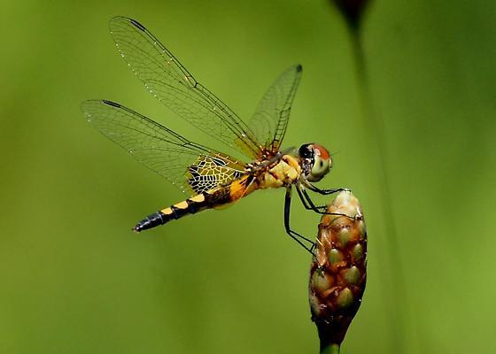 Unk. Dragonfly - Celithemis amanda