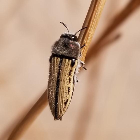 Acmaeodera pubiventris yumae - Acmaeodera pubiventris