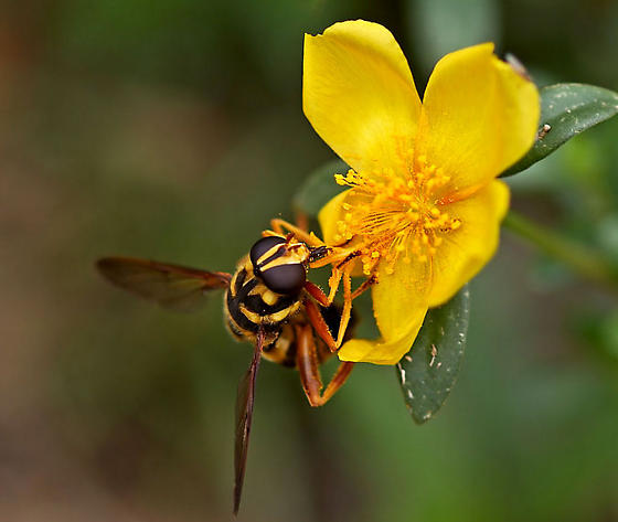 Hornet, Yellow Jacket, Etc. - Milesia virginiensis