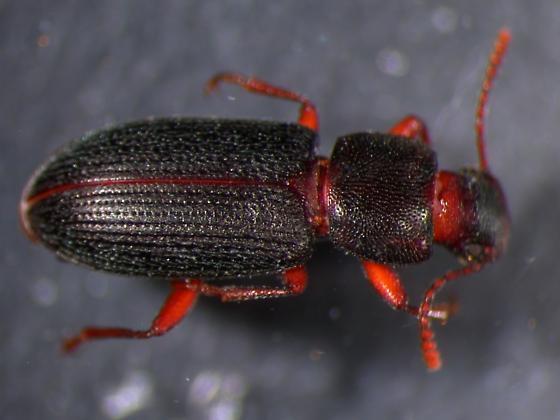 Saintly Beetle - Mecysmus