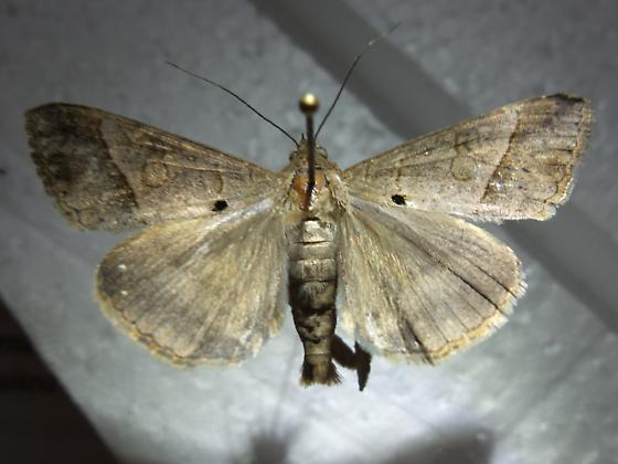 Gray Moth - Mocis latipes