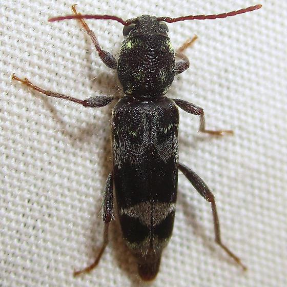 Rustic Borer - Xylotrechus colonus
