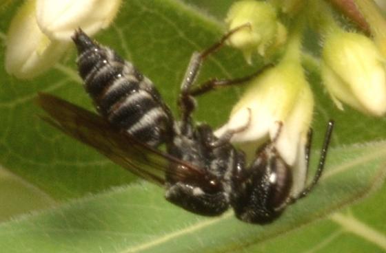 Megachilidae - Coelioxys modestus - male