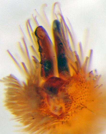 Strange amaurobioid - leg 3 ventral claw - Teminius affinis - female