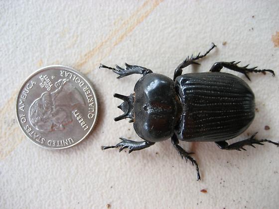 Bat Faced Beetle. he he. - Phileurus truncatus