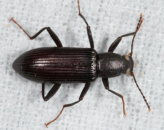 beetle that has me stumped - Strongylium