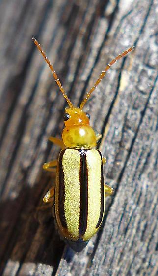 Chrysomelid - Synetocephalus? - Synetocephalus bivittatus