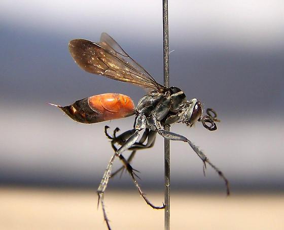 Anoplius apiculatus - female