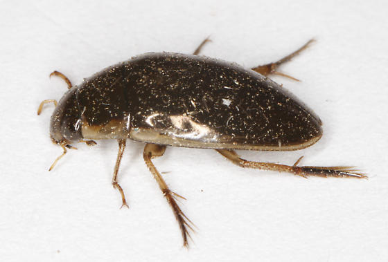 Hydrophilidae - Tropisternus lateralis