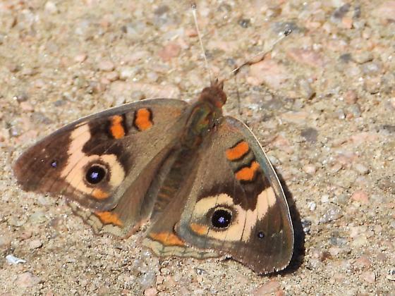 Butterfly at the arboretum - Junonia coenia